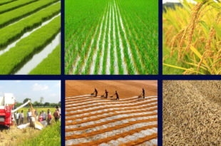 Rice production & processing in picture