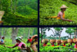 Tea processing: Plant to drink in picture