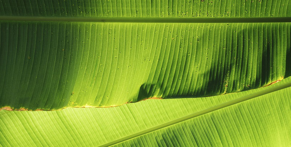 Supermarkets are now using banana leaves Instead of Plastic Packaging