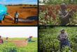 Real-time insurance for drought is helpful to Kenyan farms