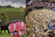 Scottish meat exports now amount to £ 82m a year