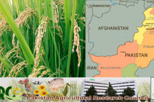 Pakistan has developed 7 new rice varieties