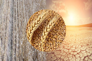 Climate change can cover up to 60% of wheat land desertification.