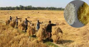 Bangladesh's Golden Expectations at Golden Rice