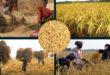 The BD GOVT will procure Aman at Tk 26 per kg