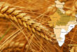 Indian wheat record of 25 years!