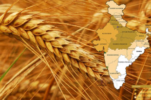 India's wheat record of 25 years!