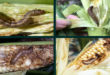 Armyworm is going to cause huge damage to Bangladesh's corn!