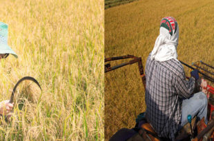 Thailand's paddy production will decline