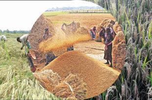 Faridpur farmers are losing interest in boro cultivation