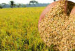 What farmers did to avoid rice loss