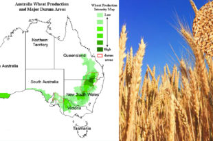 Australia's wheat production has declined