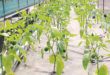 Hydroponic methods can bring success in agriculture