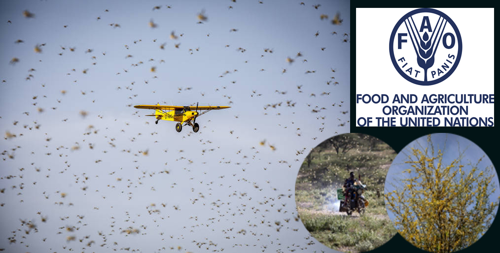 FAO welcomes € 17m contribution from Germany to tackle the effects of locust raising in East Africa