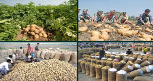 Bangladesh will export potatoes using the GAP protocol