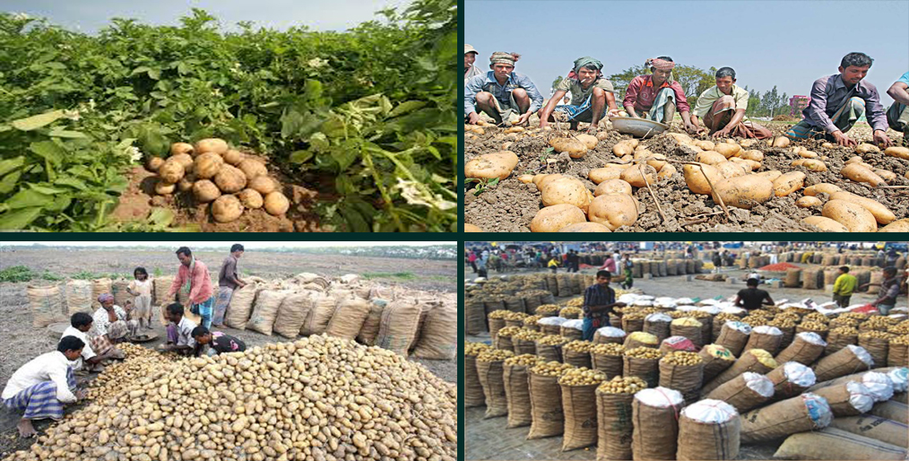 Bangladesh will export potatoes using the GAP protocol