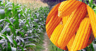 Potential for maize bumper production in Thakurgaon