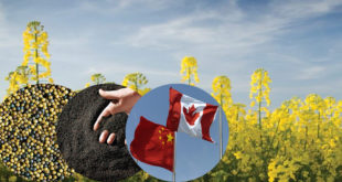 China will allow Canada to continue exporting canola seeds