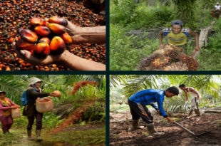 Small oil palm farmers are facing a crisis of survival