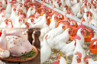 Poultry chicken prices are falling