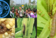 FAO's support for Bangladesh's fight against fall armyworm