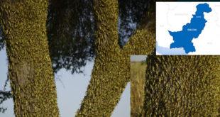 Locust attack has destroyed Pakistan's crops