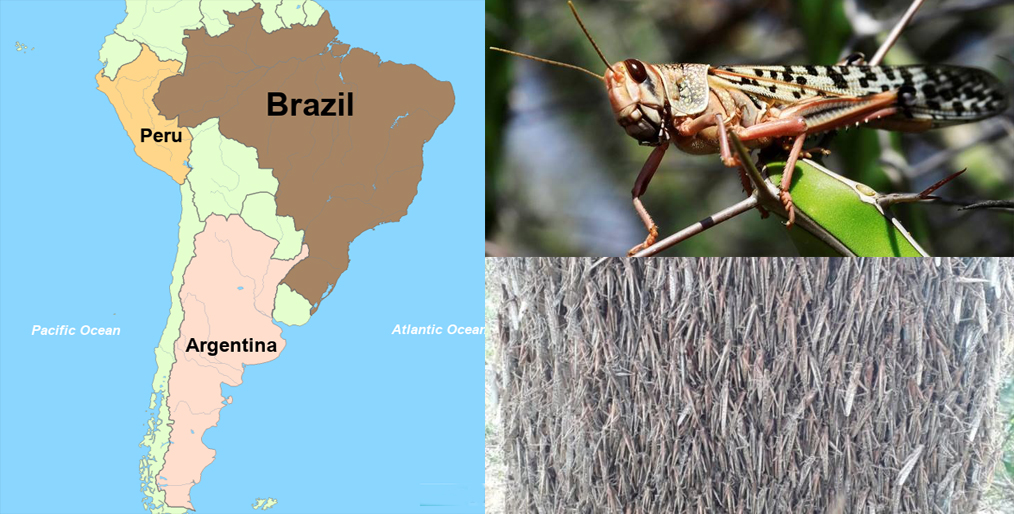 Crops in Argentina and Brazil under threat of locust attack
