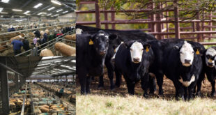 US cattle market is declining as corn prices rise