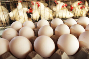 Egg-chicken prices fluctuate widely