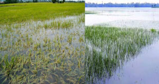 In Rangpur 11,006 hectares of crops have been submerged