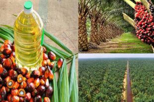 Malaysia's palm oil exports have declined