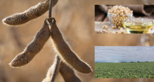 Farmers choose high oleic soybeans for high potential profits