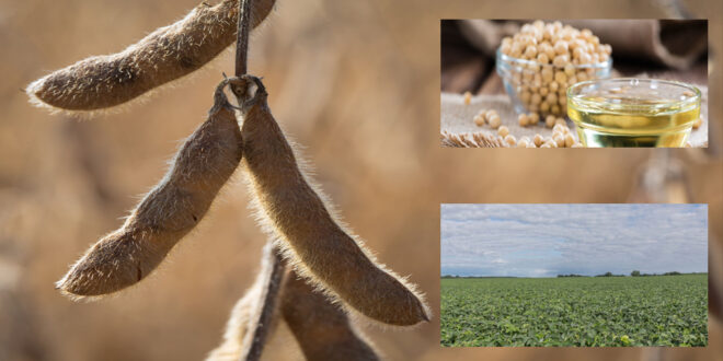 Farmers prefer to choose high oleic soybeans for high potential profits