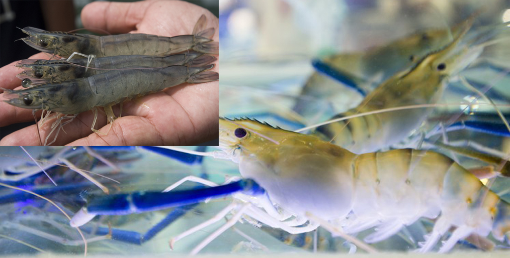 USGC is conducting research on the use of DDGS in shrimp feed in Southeast Asia