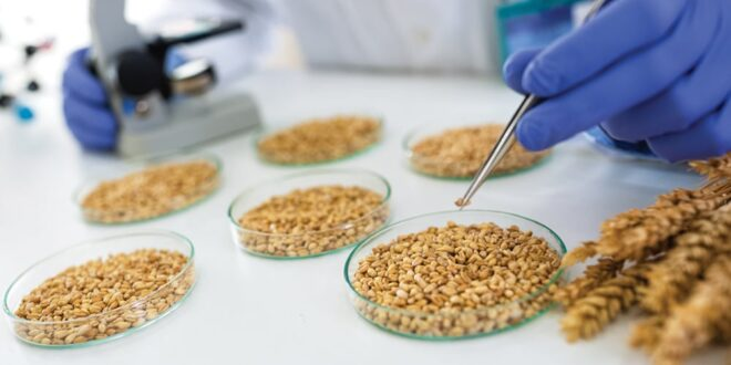 Millers in Brazil have opposed the sale of genetically modified (GM) wheat