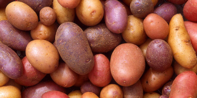 Government has increased the price of potato by Tk 5 per kg