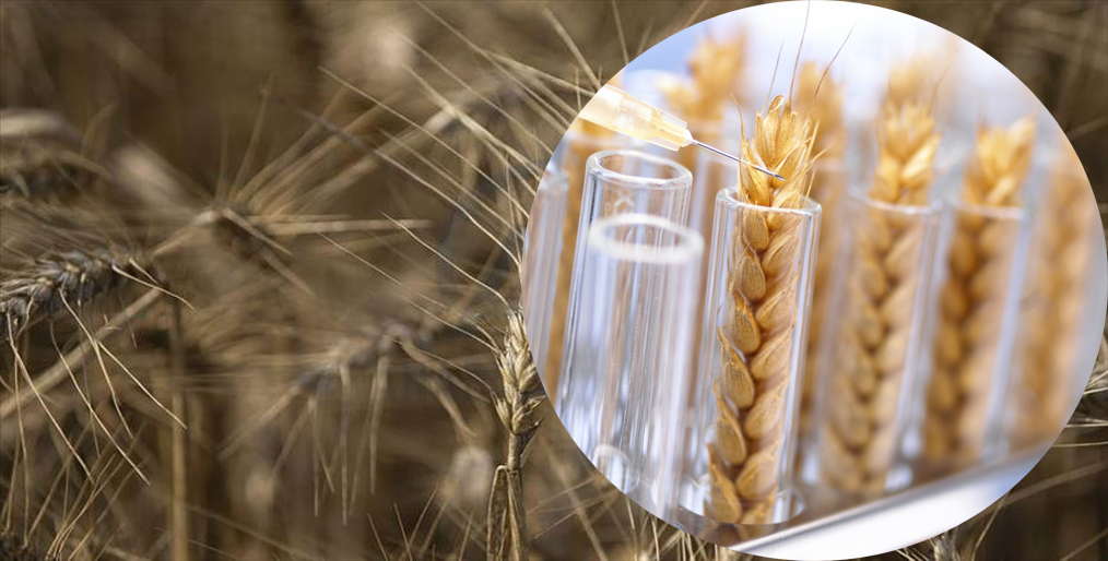 Argentina to be first country to fix drought-resistant GMO wheat, farm industry
