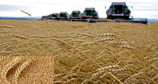 Russia has come close to a new wheat crop record thanks to grain yields