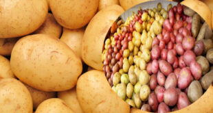 Potato Syndicate took thousands of crores of Taka, not being sold at the price fixed by the government