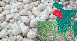Bumper yield of garlic is expected in the Barind region of Bangladesh this season
