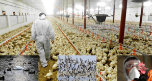 Sweden will destroy about 1.3 million chickens after catching bird flu on a farm