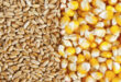 High corn prices have risen in Chinese wheat auctions, the Coronavirus fears