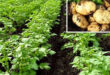 Potatoes worth Tk. 500 crore on fallow land in Tanore, Rajshahi