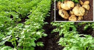 Potatoes worth Tk. 500 crore on fallow land in Tanore, Rajshahi