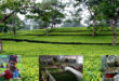 During the Corona period tea production in the northern region of Bangladesh has been recorded