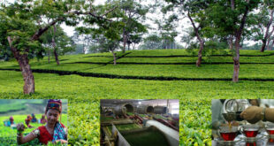 During the Corona period, tea production in the northern region of Bangladesh has been recorded