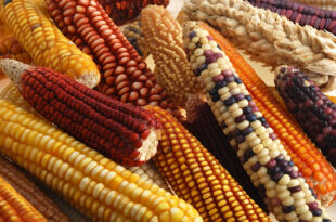 United States says Mexico's plan to ban GMO corn imports does not apply to animal consumption