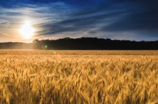 'Market braces for USDA grain stocks amid trust issues with past data'