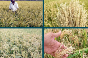 Ongoing hit shocks can cause Boro rice crop failure food security in the face of problems