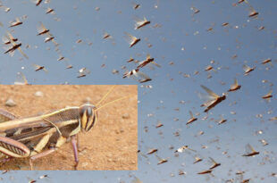 An outbreak of red locusts has devastated Namibian pastures & crop fields